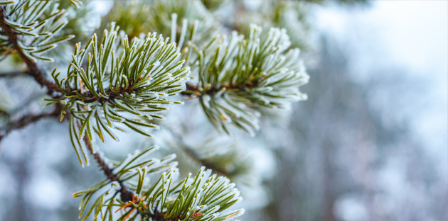Preparing Winter Medicine with Tree Saps