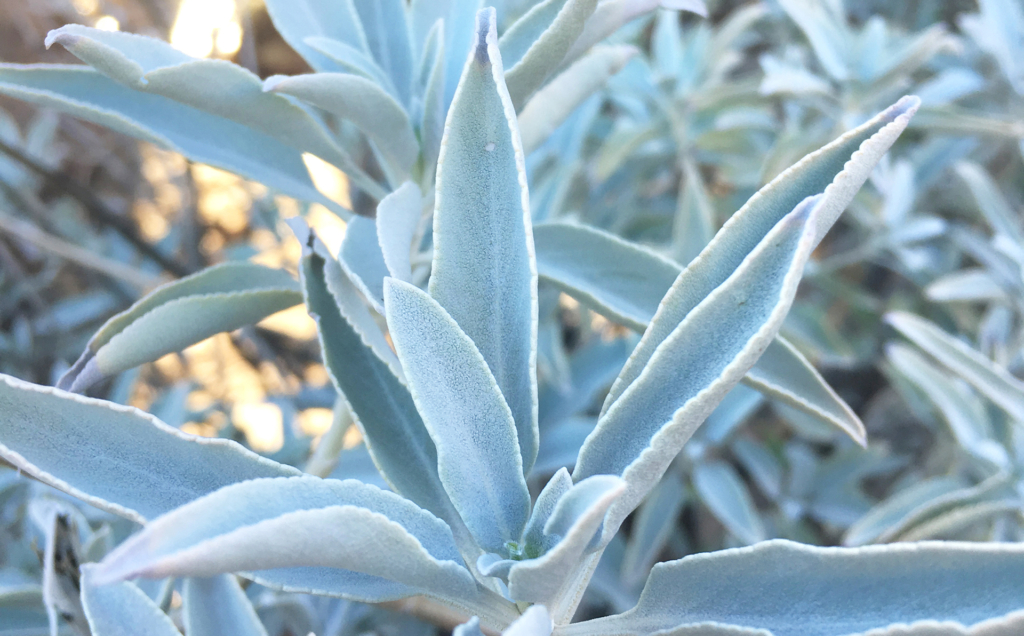 White Sage, Salvia apiana
